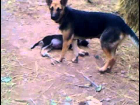 Chó say rượu chết cười :))