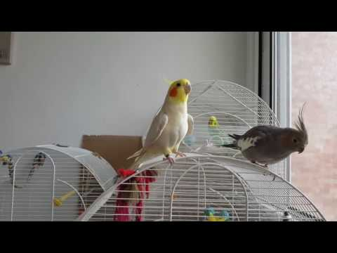 Parrot Singing Game Of Thrones Compilation 2016