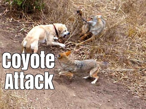 Coyote Attacks Cat -  Dog Saves Cat