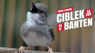 Download Video SUARA BURUNG : Ciblek GACOR Ngebren Dari BANTEN MP3 3GP MP4