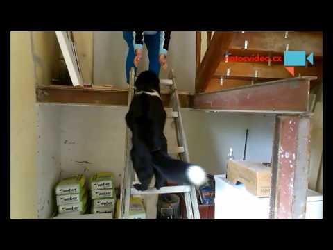 Náš pes Monty leze po žebříku