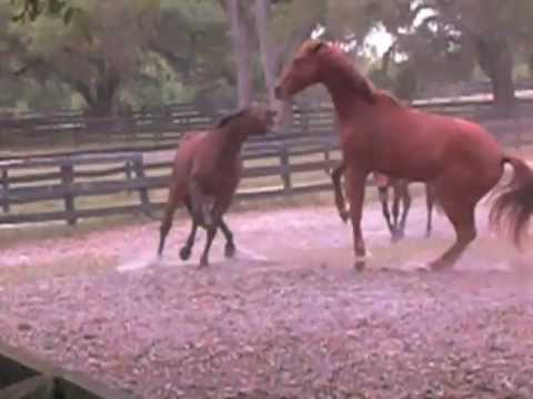 Horses fighting for hierarchy of herd order, a natural behavior to be used in behavioral training