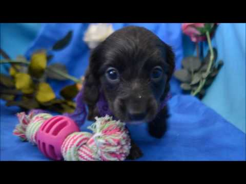 Layla AKC Blue Female LH Miniature Dachshund Puppy for sale