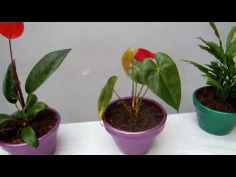 Anthurium for Anturio cuidados