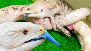 YOU'VE NEVER SEEN LIZARDS BREED LIKE THIS BEFORE!!!   BRIAN BARCZYK by Brian Barczyk