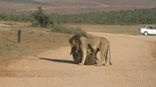 Addo South Africa  City new picture : Lions Kill two Buffalo in Addo reserve,South Africa
