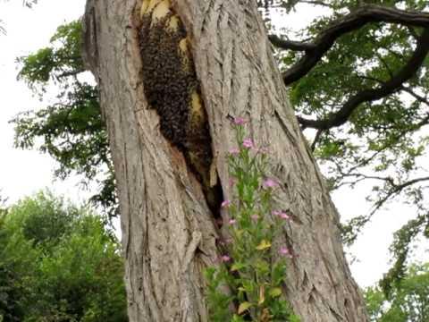 Video en francais essaim sauvage dans un tronc d arbre apiculture le blog d 39 un apiculteur - Comment tuer les racines d un arbre ...