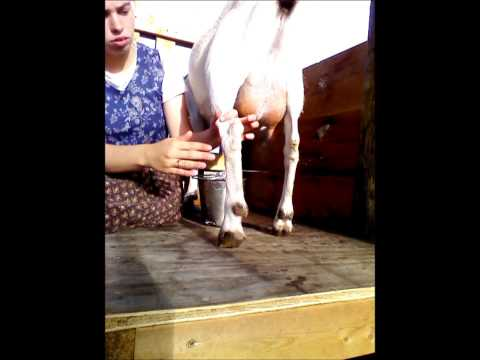 How to Hand- milk a Goat, by Alayna May