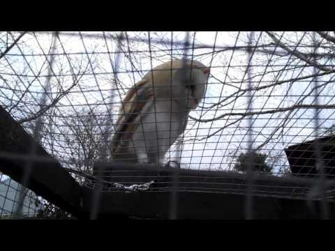 Ferrets meet Barn Owl