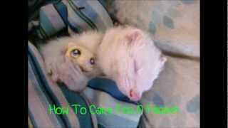 Ferret Care Video