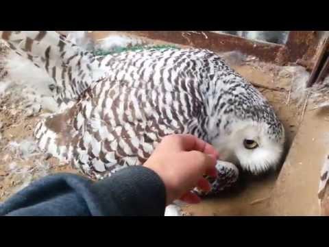 Самка полярной совы насиживает кладку