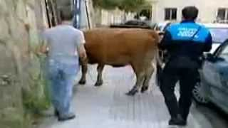 Ferrol Spain  city photos : Police arrest a lost cow [Ferrol - Spain]