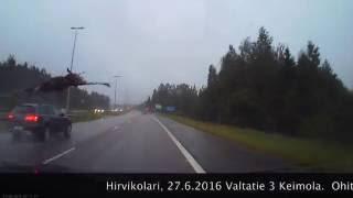 Когда лось не знает правила дорожного движения