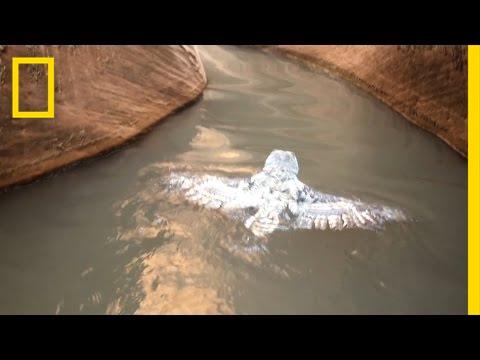 Veteen tippunut pölö käyttää siipiään melomiseen