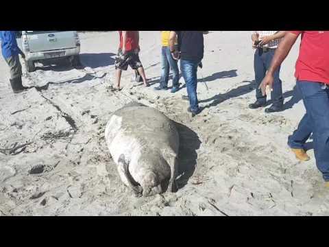 Manati encontrado muerto en Playas de Tela , Honduras  C.A