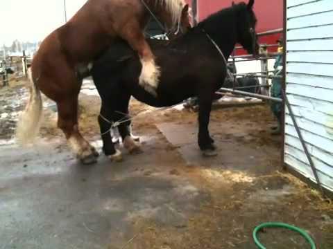 【資料用】北海道十勝帯広 重種馬の交尾 3/14@ばんえい競馬(BanneiHorseRasing)【獣医学】