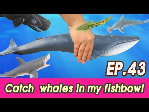 [EN] #43 Let's catch whales in my fishbowl (kids education, Collecta figure) [cocostoy] - Thời lượng: 6:14.