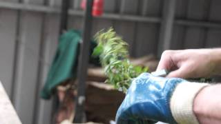#496 David Austin Roses 2011 - Rosenvermehrung 1v3