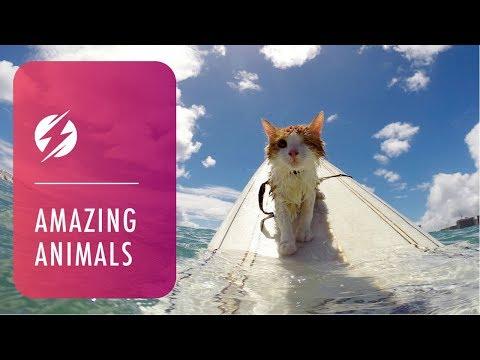 kuli, il gatto hawaiano che fa surf