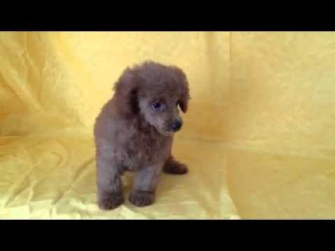 STUNNING TOP OF THE LINE RED MINI POODLE