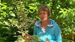 Cserjékből törpe fák nevelése - Kertbarátok - Kertészeti TV - műsor