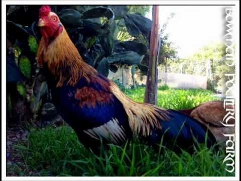 Asil (chicken) - www.bowmanpoultryfarm.webs.com Intro Breeder of Pure Cobra asil, Brazilian, Shamo, Hennies, Brazilian X Cobra, apart from breeding fine oriental fowl we also...