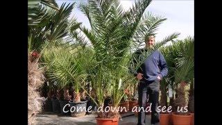 Palm Trees From The Palm Tree Company