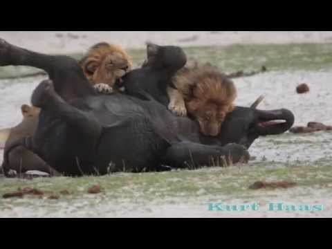 LIONS Kill an Elephant (for a license, please contact: Barcroft TV)