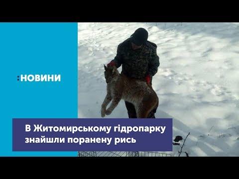 В Житомирському гідропарку знайшли поранену рись