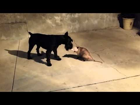 standard schnauzer vs opossum