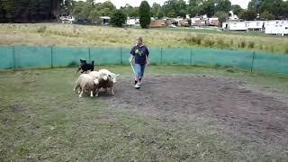 Download Lagu Rottweiler vs German shepherd in hindi - MG_RECORDS Mp3