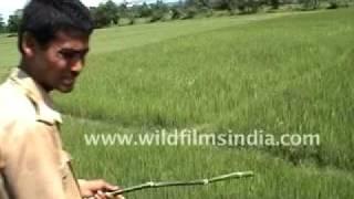 Атака тигра — видео