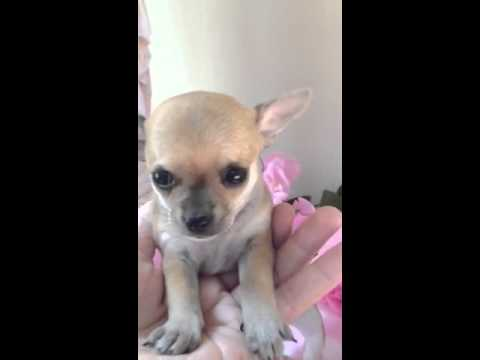 Teacup chihuahua female puppy for sale