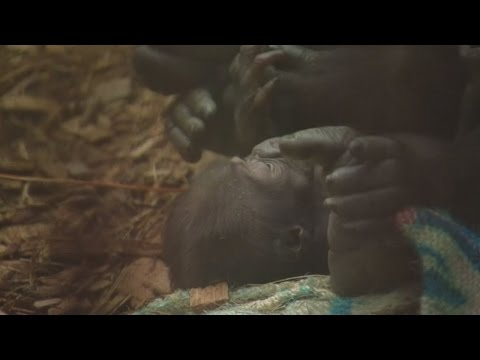 Month-old gorilla counted in zoo's annual animal stocktake