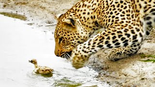 Baby Bird Takes on Hungry Leopard - Latest Wildlife Sightings