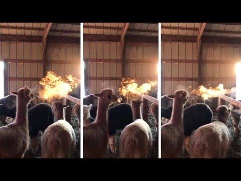 Альпака дышит огнем, аки дракон