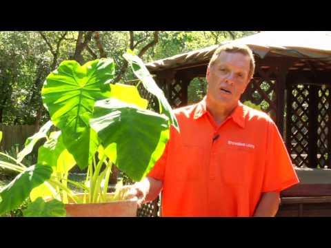 Gardening Tips : Caring for Elephant Ear Plants