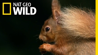 Download Lagu Where Red Squirrels Live | Destination WILD Mp3