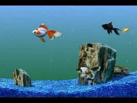 Goldfish Aquarium Tank Swimming Gold Fish Video Clip