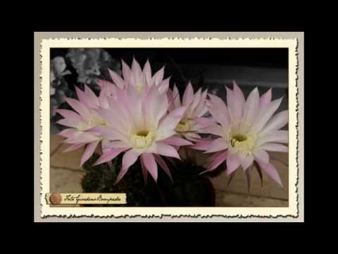 echinopsis, una fioritura breve ma intensa!