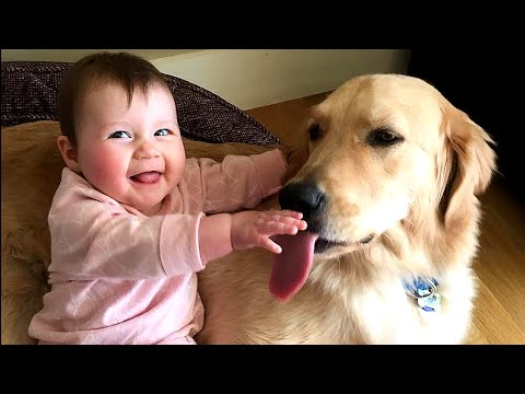 golden retriever babysitter