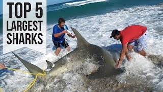 Video Top 5 Largest Sharks Caught download in MP3, 3GP, MP4, WEBM, AVI, FLV January 2017