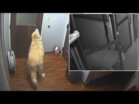 Koira pakenee eläinlääkäristä – Aukaisee itse 4 ovea