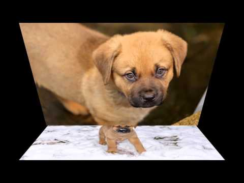 Our Bullmastiff x Akita Cute Puppy Dog Photo Slideshow