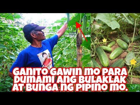 Sekreto sa Pagpaparami sa bunga ng Pipino ( Cucumber farming )