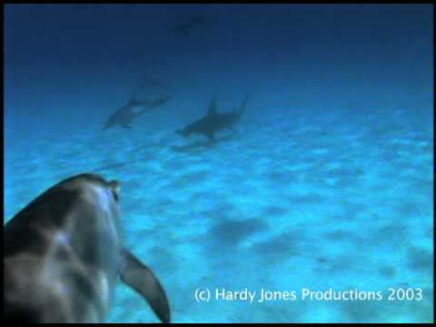 Dolphins protect a diver from a Hammerhead Shark