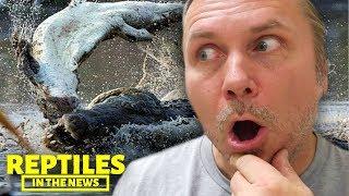 MASSIVE CROCODILE EATS CROCODILE?!! I REPTILES IN THE NEWS by AnimalBytesTV
