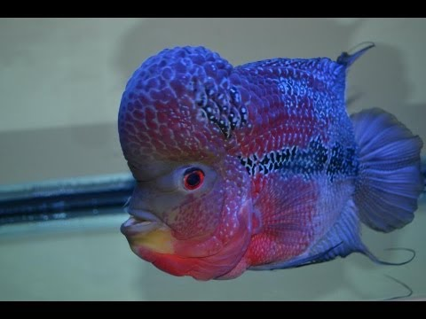 Flowerhorn - epic fish battles! who wins? you decide!