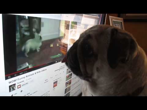 funny pug watching a video on the computer!