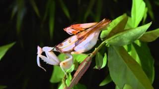 Jun 1, 2015 ... 1:45. Orchid Mantis: Looks That Kill - Duration: 4:00. It's Okay To Be Smart n117,758 views · 4:00 · Predatory Katydid Vs Green Praying Mantis...